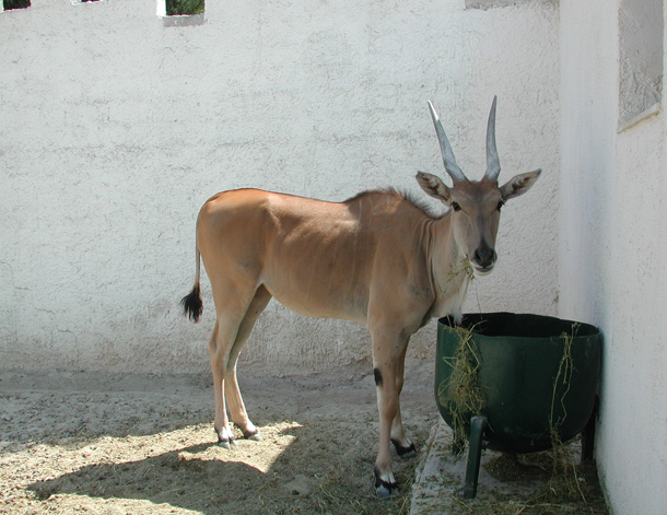 i antilopi