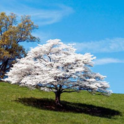 whitedogwoodtree2201