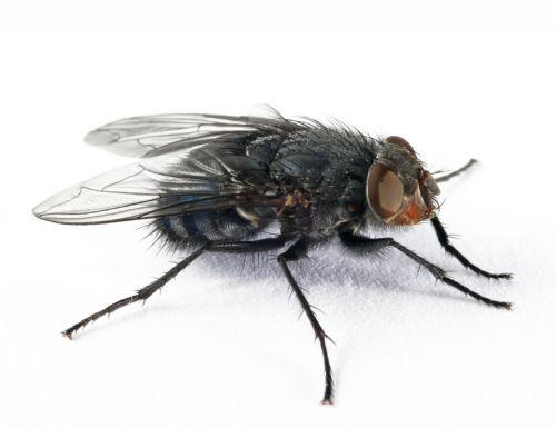 μυγες