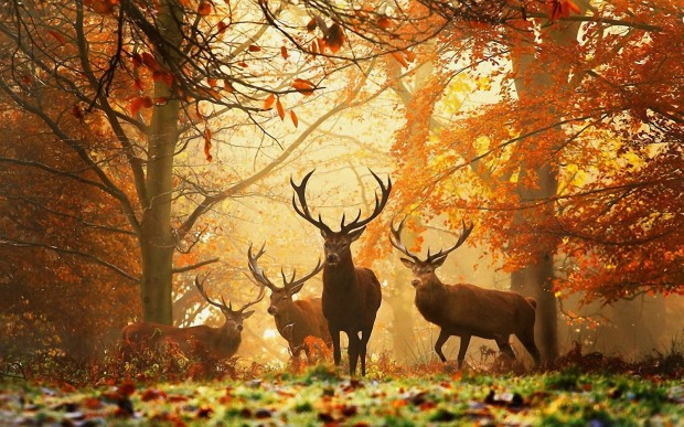 Deers-Autumn (1)