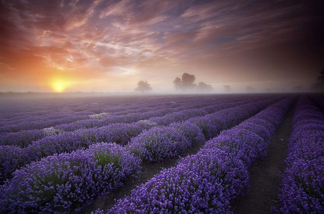 511996-Lavender-Fields-UK-and-France