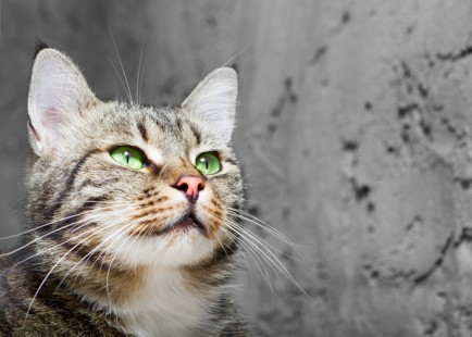 600px-cat-whiskers-green-eyes-434x310