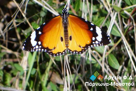 petalouda-tigris-pediadas-119429