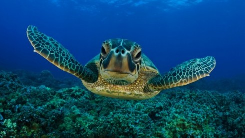 seaturtlekoralli-490x277