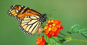 monarchbutterfly-300x156