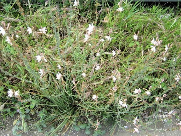 Αsphodelus aestivus-Plants