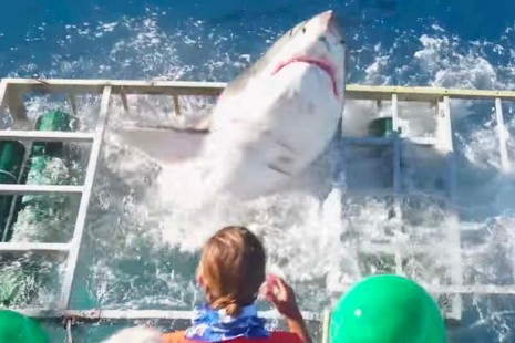 great-white-shark-cage-breach-accident-465x310