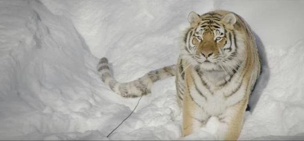 tigreis_siviria1