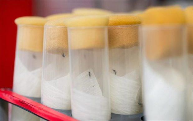 EPA/CHRISTIAN BRUNA Αρσενικά κουνούπια έχουν ήδη απελευθερωθεί στη νήσο Σαζάι, μια μικρή πόλη 60 χιλιόμετρα μακριά από την εγκατάσταση, και τα πρώτα αποτελέσματα είναι ενθαρρυντικά (φωτ. αρχείου).